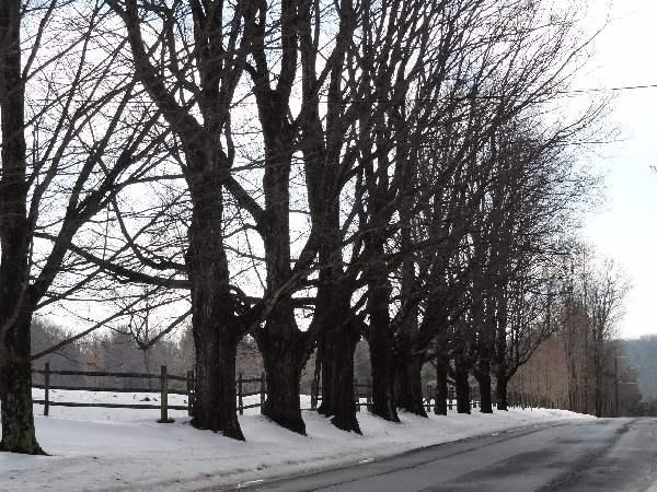 roadside maple trees