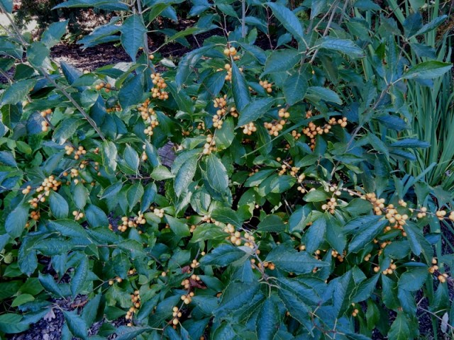 Gold winterberry