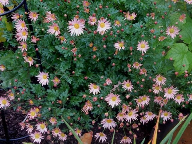Sheffield daisies