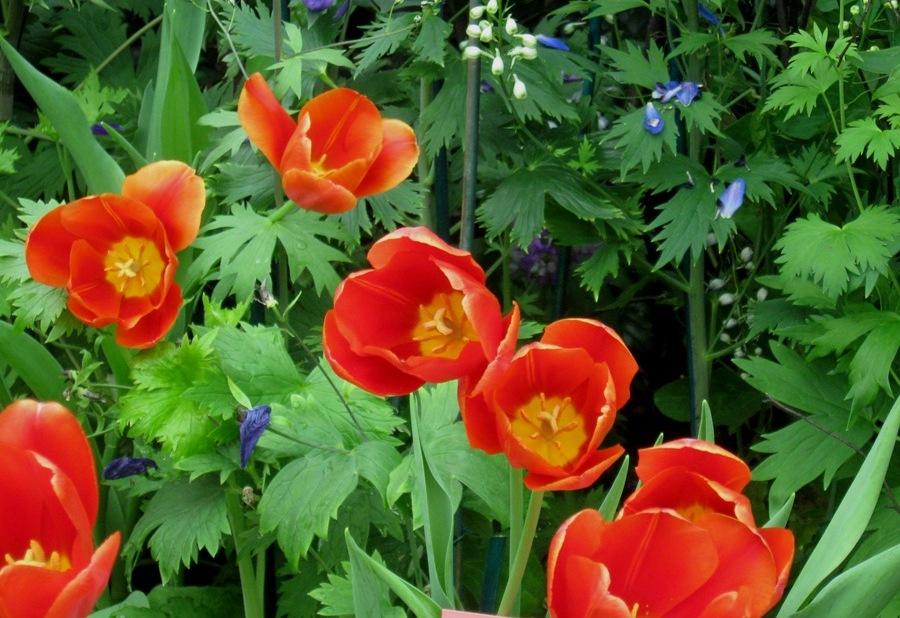 Tulips at NYBG Emily Dickinson exhibit