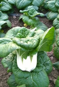 """Asian Delight"" Pak choi"