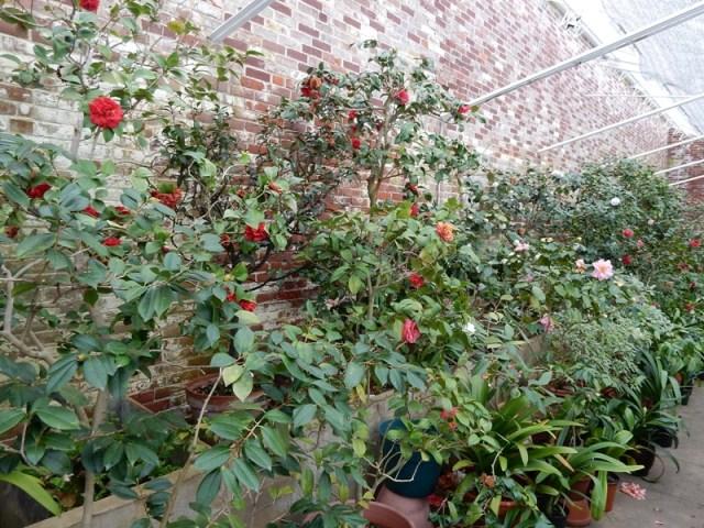 Lyman greenhouse camellia room