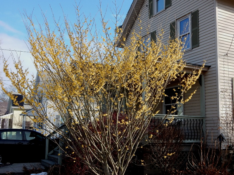 Hamamelis - witch hazel