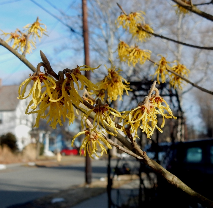 Witch hazel hamamelis