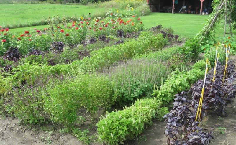 Culinary herbs basil