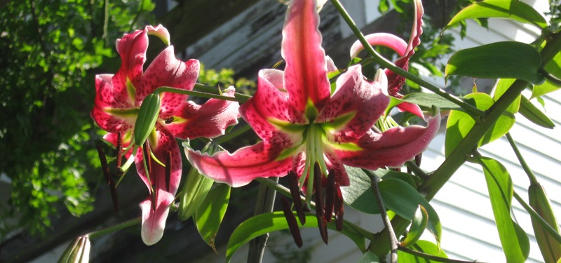 "Lilium ""Black Bearty"""