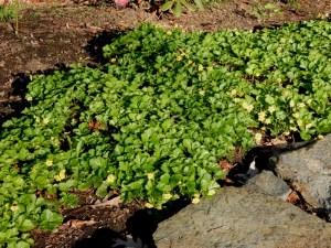 Waldsteinia or barren strawberry