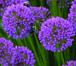 Allium Millenium one of the perennials in demand