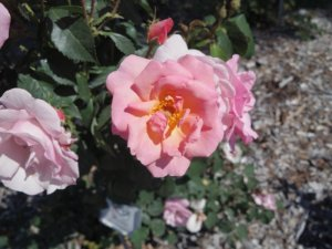 Knock Out 'Peachy' rose