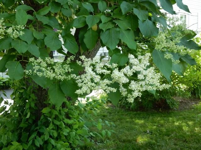Lilac Tree blossom