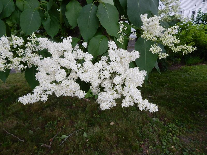 Lilac tree blossoms