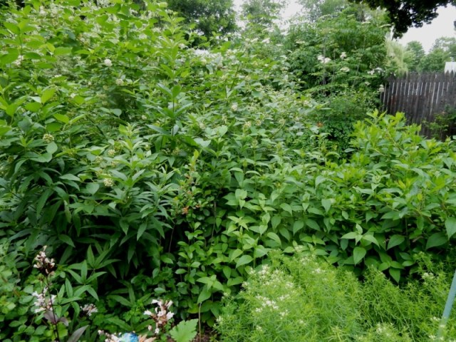 yellow twig dogwood and other proliferating perennials