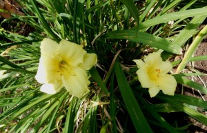 pale yellow day lily