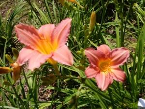 Shyness daylilies