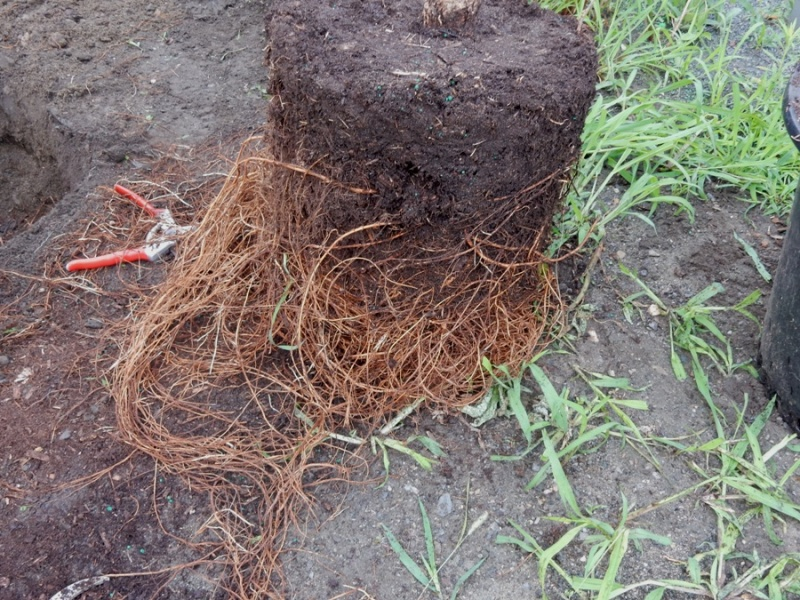 Tree roots need to be untangled, even cut, before planting