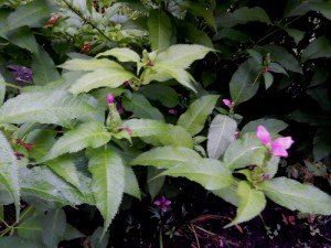 chelone or turtlehead