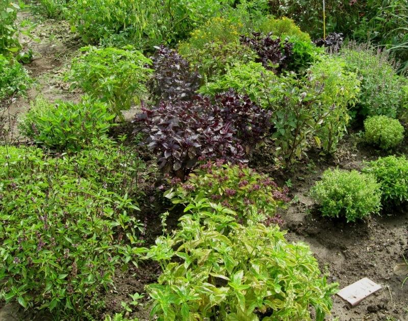 A variety of basils