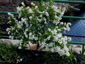 Pearl bush