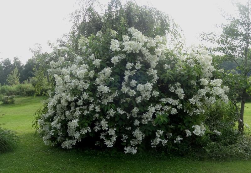 Mothlight hydrangea