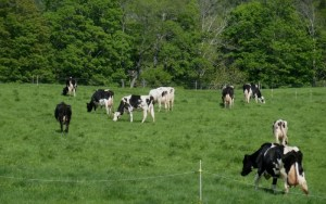 Woodslawn Farm cows in the meadow