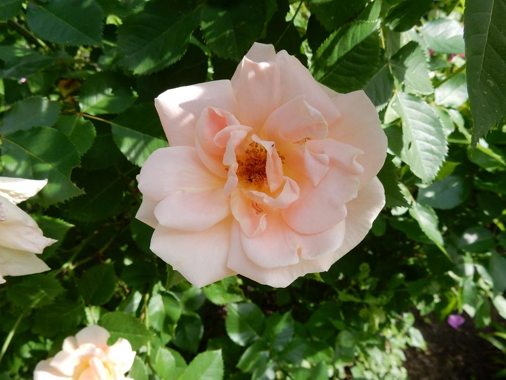 Lion's Fairy Tale - Kordes rose
