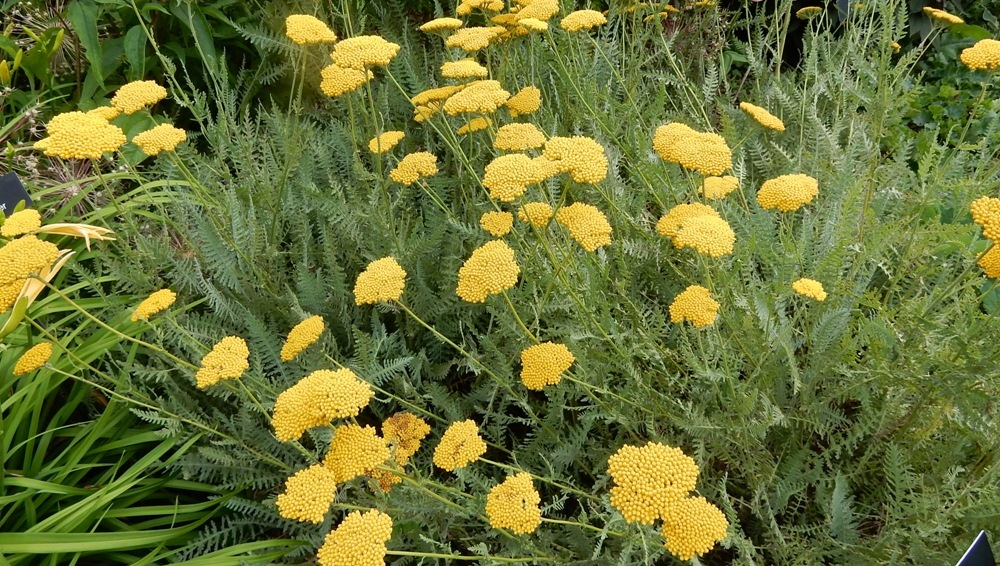 Yarrow or achillea