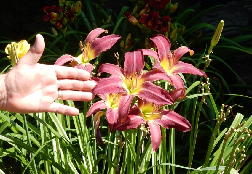 Vaughns hybrid daylily