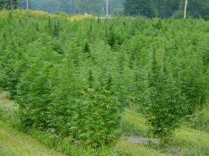 Hemp field in Buckland