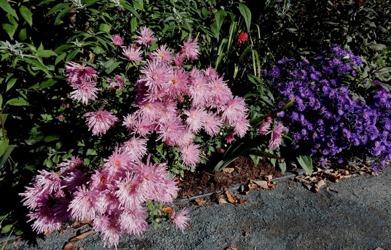 Spoon chrysanthemums and asters