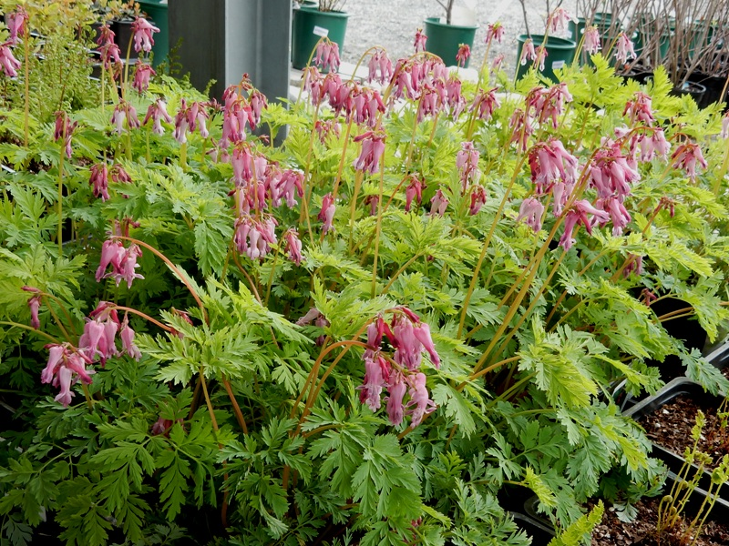 Fringed Bleeding Hearts