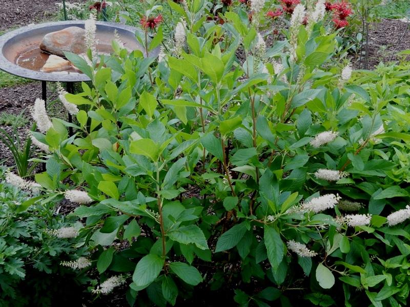 Sweet pepperbush