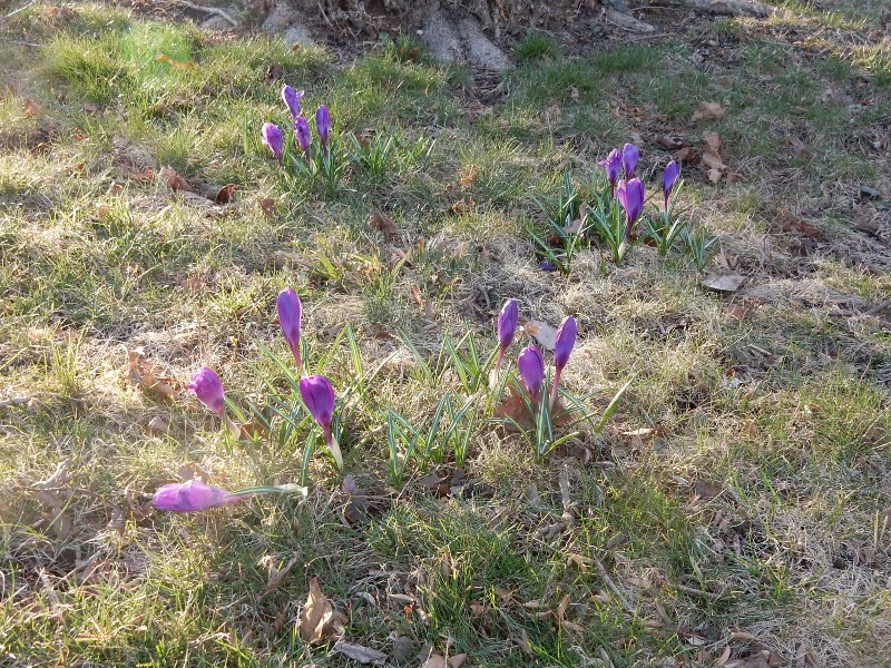 Crocus have no fear of the pandemic