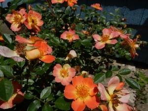 Paprika rose