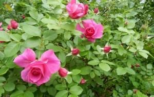 Thomas Affleck rose