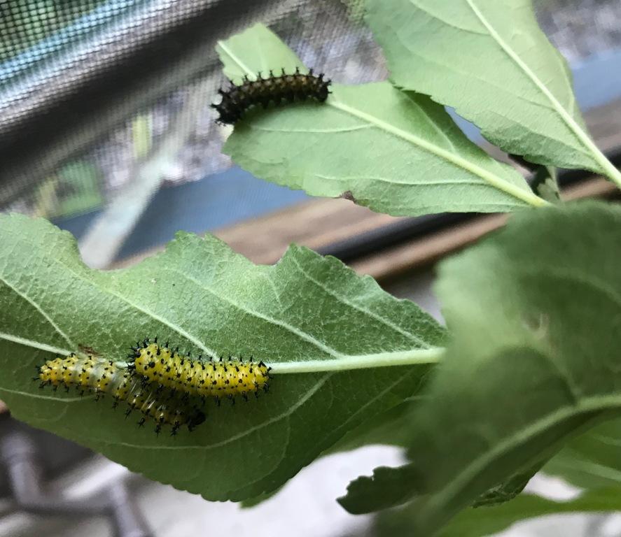 Cecropia caterpillars