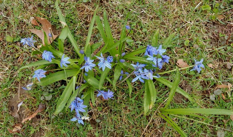 Scillas blooming in the April lawn