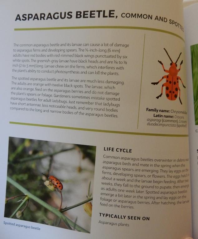 Asparagus beetle in garden