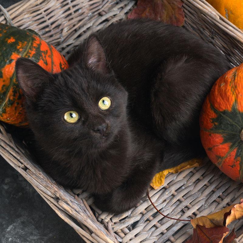 Halloween And International Black Cat Awareness Month