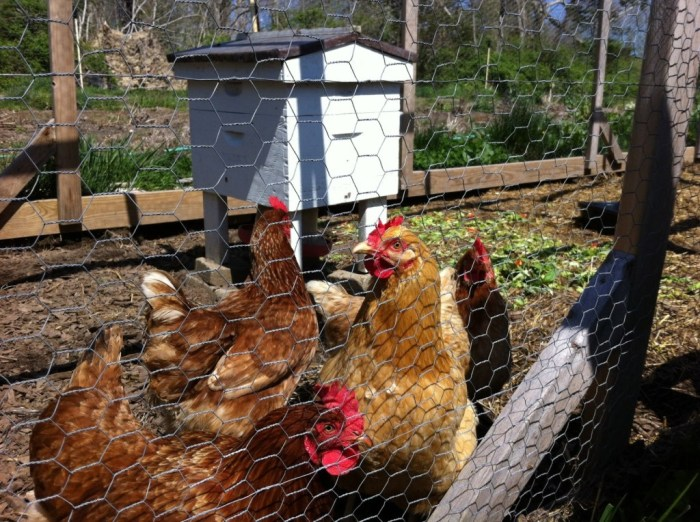 Beehive in the chicken run.