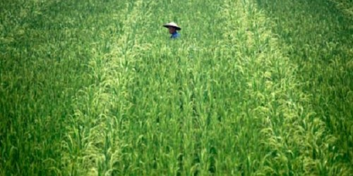 A Chinese farmer walks through his crop on the outskirts of Leshan, Sichuan