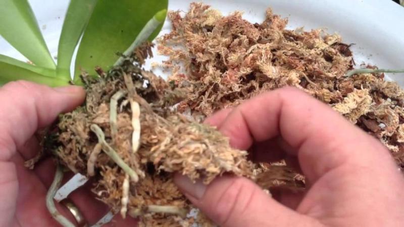 transplantar uma orquídea Phalaenopsis