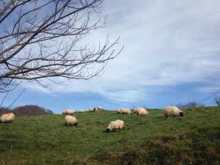 ovejas tipicas navarra norte de navarra