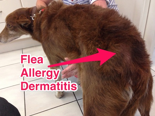 Flea Allergy Dermatitis Cats Flea Allergy Dermatitis Fad