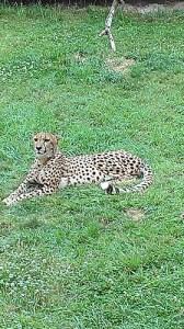 cheetah 01