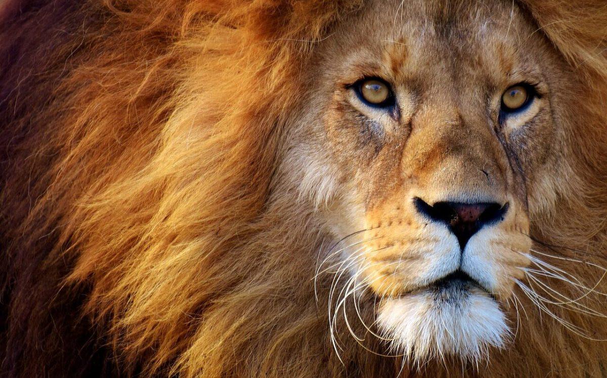 Lion for leo zodiac sign