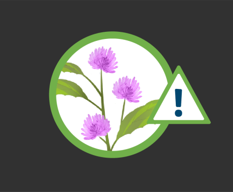 Canada Thistle: Top Weed for Home and Lawn Damage in Colorado