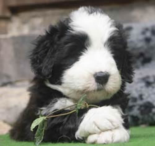 Bearded Collie Information and wallpapers
