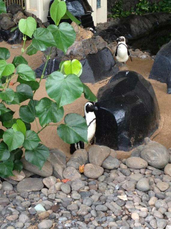 Penguins at Hyatt Maui