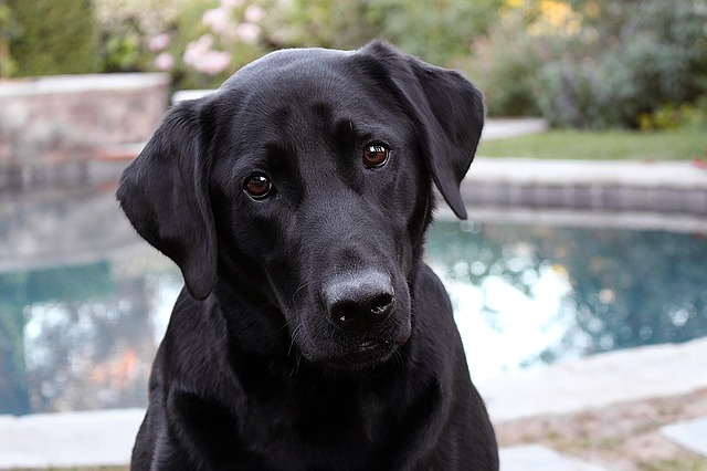 dressage labrador noir