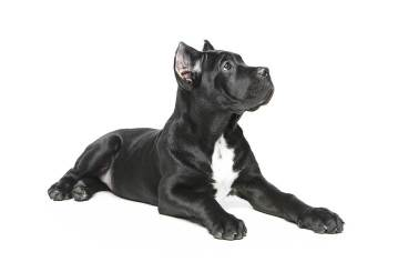 cane-corso-chiot-oreilles-coupees